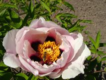 Trädpion i blommaslut upp Rosa växa för pionblommor i trädgården, blom- bakgrund Blomma för bi på våren Royaltyfri Bild