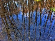 Trädreflexion i dammet Arkivbild
