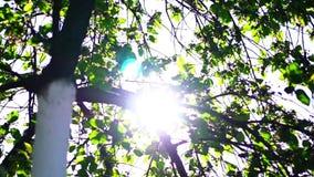 Trädsidor i strålar av solen stock video