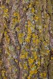 trädskäll Arkivbilder