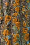 Trädskäll Arkivfoto