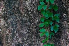 Trädskäll Royaltyfri Bild