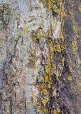 Trädskäll för bakgrunder Fotografering för Bildbyråer