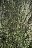 Trädskäll för vit poppel eller Rhytidome som täckas med gröna Moss Texture Detail arkivfoto