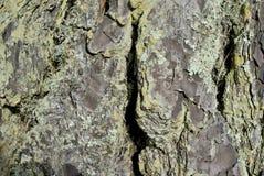 Trädskäll och Lichen Close Up Royaltyfria Foton