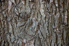 Trädskäll, trädstam, gammalt träd, ek royaltyfri foto