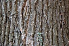 Trädskäll, trädstam, gammalt träd, ek royaltyfria bilder