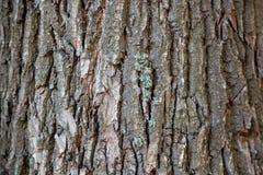 Trädskäll, trädstam, gammalt träd, ek arkivbild