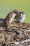 Trädsparvar (förbipasserandemontanusen) arkivfoto