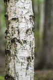 Trädstam för vit björk Royaltyfri Bild