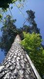 Trädstam från sikt för låg vinkel Arkivfoto