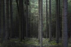 Trädstam i ljus i mörk skog royaltyfria bilder