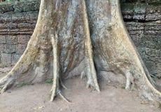 Trädstam i templet för Ta Prohm, Cambodja Arkivbild