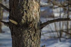 Trädstam i vinterskogen och det textural skället fotografering för bildbyråer