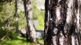 Trädstam med skorpadetaljen Suddig skog, naturbakgrund Copyspace övre sikt för slut Royaltyfri Bild