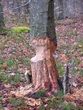 Trädstam med tecken av bäveraktivitet royaltyfri bild