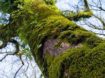 Trädstam mycket av mossa Royaltyfri Foto