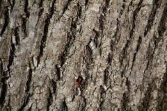 Trädstam, naturlig bakgrund i bruna toner Royaltyfri Fotografi