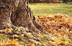 Trädstam och höstsidor Arkivfoto