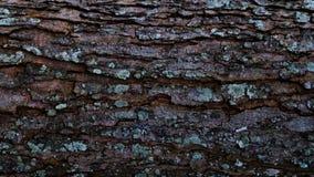 Trädstam och laver på yttersida Royaltyfria Bilder