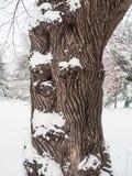 Trädstam och snö Arkivfoton
