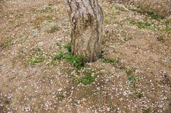 Trädstam på brun jord, med stupade plommonblomningkronblad arkivfoto