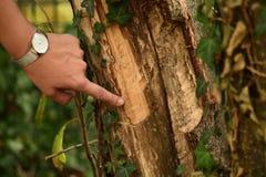 Trädstam som förbi gnagas på en bäver royaltyfri fotografi