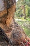 Trädstam som gnagas av bäver Royaltyfri Foto