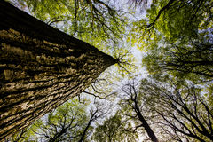 Trädstam som skyward ser Royaltyfria Bilder