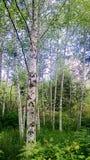 Trädstammar Royaltyfria Foton