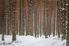Trädstammar Royaltyfri Foto