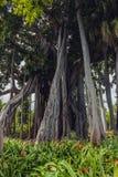 Trädstammar i djungel Arkivbild