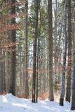 Trädstammar i vinterpinjeskog Arkivbild