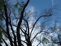 Trädstammar och filialer mot blå himmel Arkivbilder