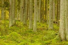 Trädstammar och mossa Arkivbilder