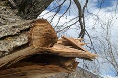 Trädstammen är på framdelen Det har klippt filialen med det bildade hålet inom Ett stycke av trädskället klipps av Massor av grön Royaltyfri Bild