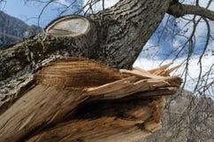 Trädstammen är på framdelen Det har klippt filialen med det bildade hålet inom Ett stycke av trädskället klipps av Massor av grön Royaltyfri Foto