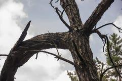 Trädstammen av sörjer Bakgrund Arkivfoton