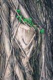 Trädstammen som förbi täckas, rotar Royaltyfria Foton