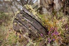 Trädstubbe med blommor, viktorianska fjällängar, Australien fotografering för bildbyråer