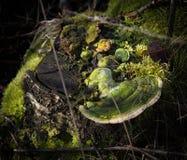 Trädstubbe med grön mossa och giftsvamp Arkivfoto