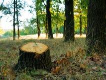 Trädstubbe, når att ha klippt ett träd i landskap för skog för höstskoghöst Fotografering för Bildbyråer