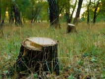 Trädstubbe, når att ha klippt ett träd i landskap för skog för höstskoghöst Royaltyfria Foton