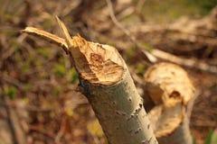 Trädstubbe som tuggas för en tid sedan av en bäver Royaltyfri Bild
