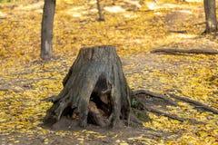 Trädstubben med krokigt rotar i den magiska skogen för den härliga skogen för hösten som lösa täckas med gul bakgrund för nedgång royaltyfria foton