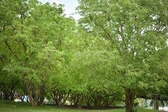 Trädtamarindfrukt arkivbild