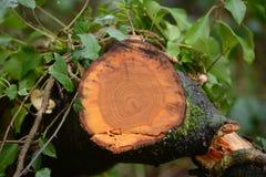 Trädtillväxtcirklar Arkivfoto