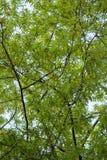 Trädtjänstledigheter i himlen Arkivbild