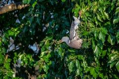 Träduva Columba Livia som hänger uppochnervända ätavinterbär från vintergrönt träd royaltyfria foton