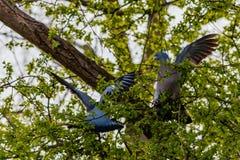 2 träduvor som slåss i ett träd arkivfoton